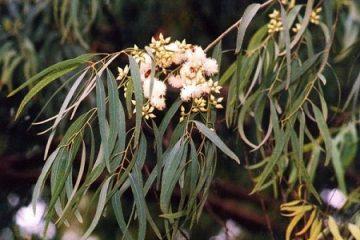 Công dụng và cách dùng dược liệu: Bạch đàn lá liễu 2