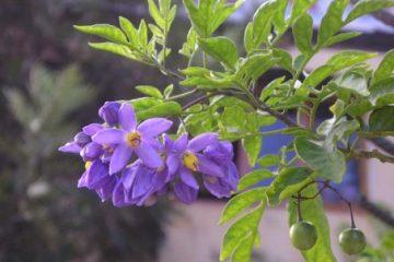 Công dụng và cách dùng dược liệu: Cà dại hoa tím 1