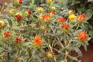 Công dụng và cách dùng dược liệu: Cây hồng hoa 2