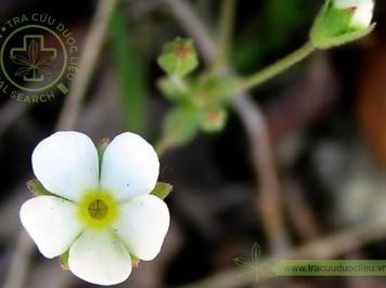 Báo xuân hoa
